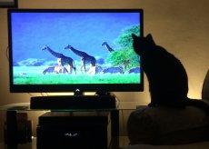 kot przed tv